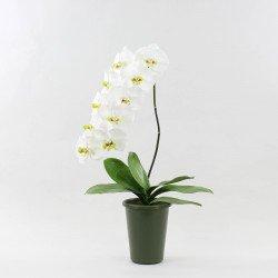 Phalaenopsis Orchid Single Stem Pot 10 Flowers