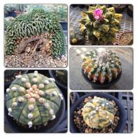 Thamaka cactus_logo